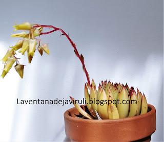 plantas-crasas-echeveria-agavoides-x-echeveria-colorata