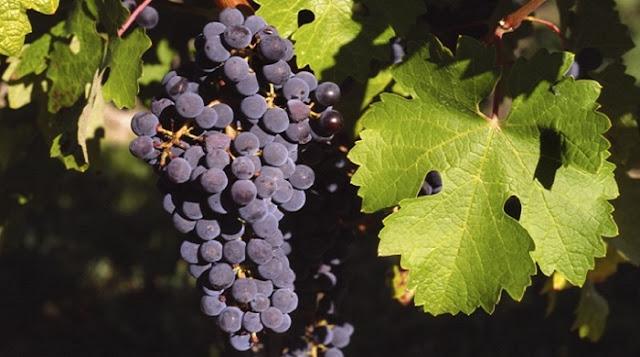 Australian Cabernet Sauvignon Grapes