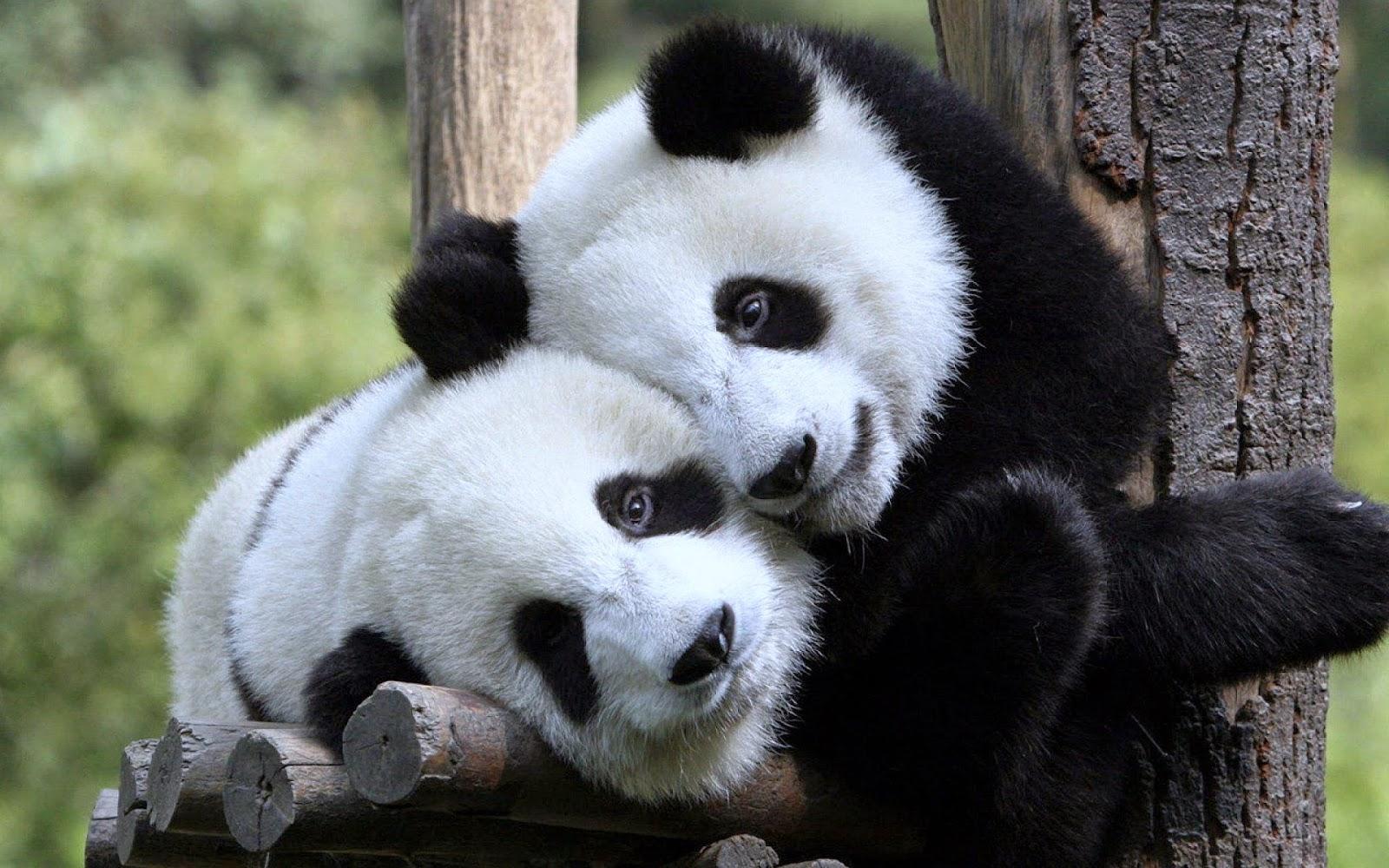 gambar panda lucu nama hewan dari huruf P