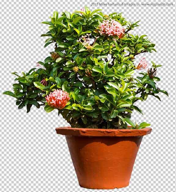PNG Ixora Coccinea Garden plants texture 00001