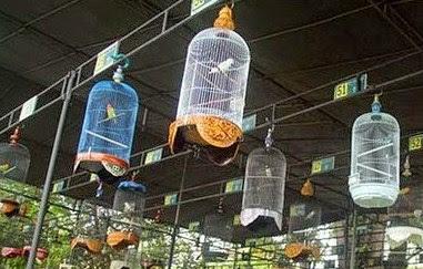 Cara Tepat Merawat Burung Lovebird Untuk Lomba Supaya Menjadi Juara