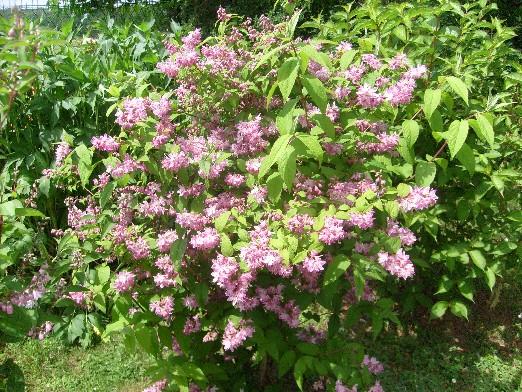 ma planète jardin: deutzia 'perle rose', un arbuste à la floraison