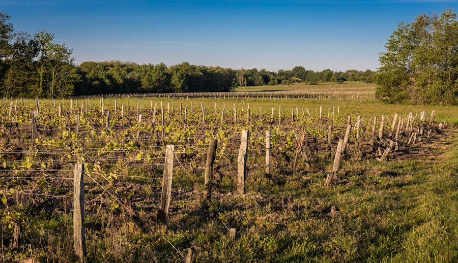 The greening of the vineyard