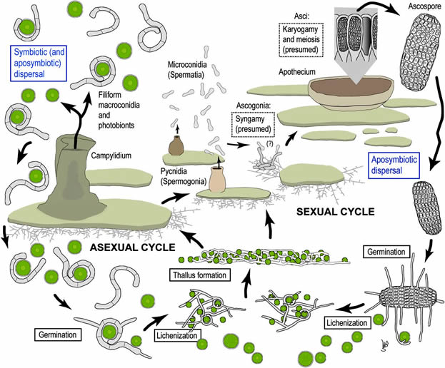 Lichen life cycle