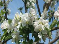 """Майское цветение / Блог """"Дача-это просто!"""""""