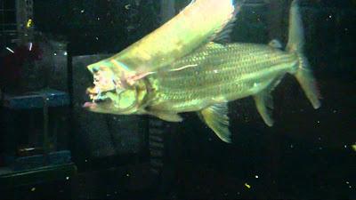 Makanan Goliath Tigerfish Si Harimau Dari Sungai Afrika