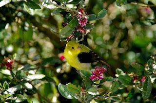 ave sobre arbol de feijoa