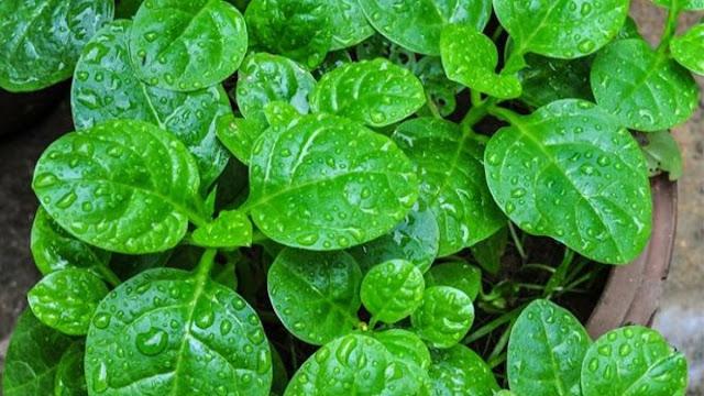 manfaat, khasiat, manfaat daun binahong, khasiat daun binahong, manfaat daun binahong merah, manfaat daun binahong untuk wajah, manfaat daun binahong untuk lovebird, manfaat daun binahong untuk kesehatan