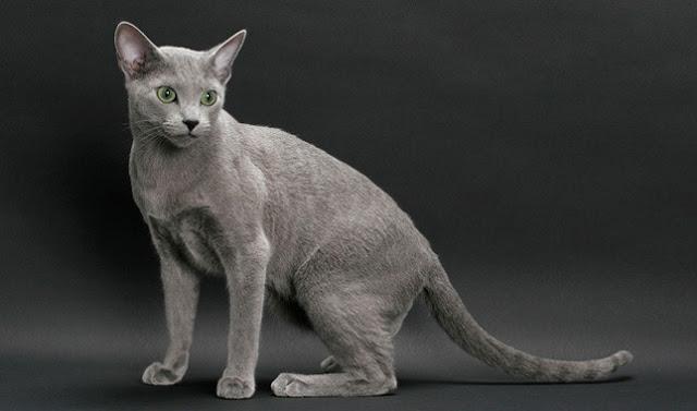 Russian Blue Cat salah satu kucing paling mahal di dunia