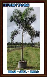 pohon palem ekor tupai