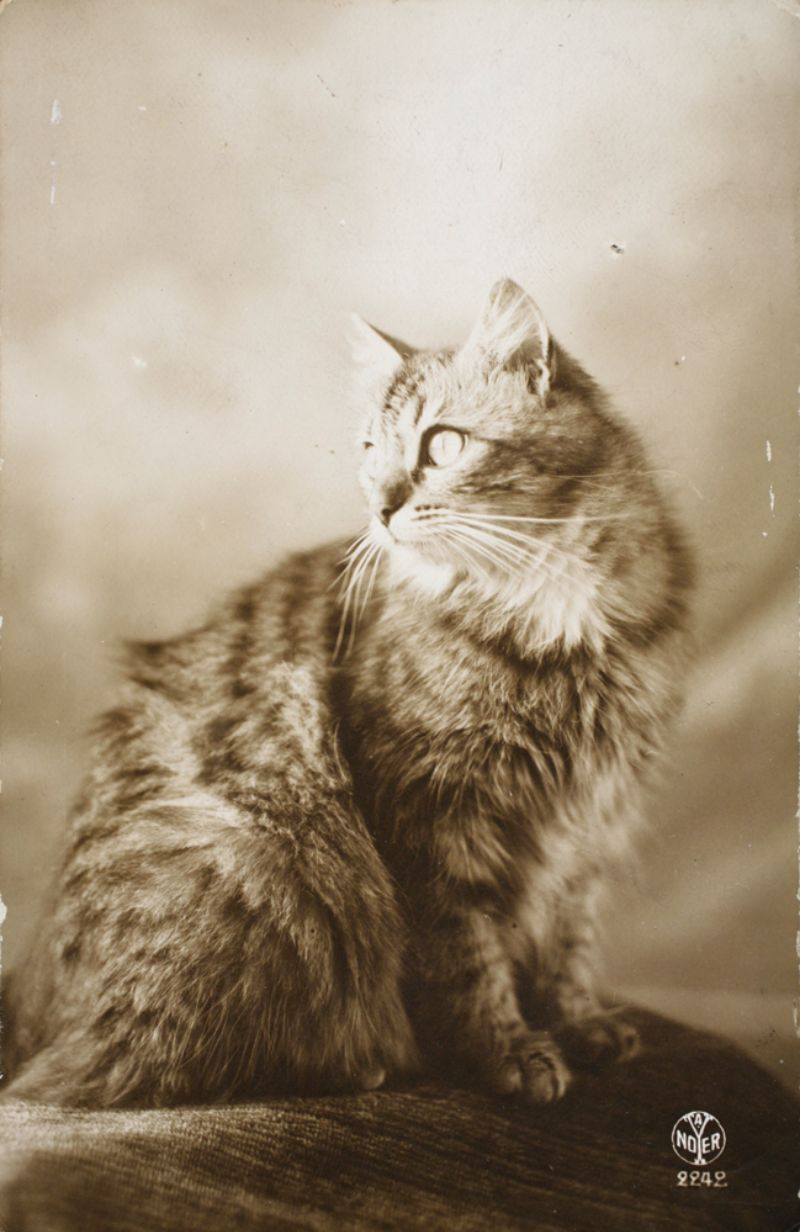 20 lovely vintage photos of cats from the 1920s vintage everyday. Black Bedroom Furniture Sets. Home Design Ideas