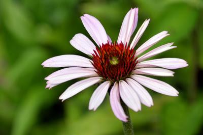 echinacea purpurea pale pink daisy