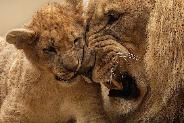 Lion Playing With Lion Cub Animals HD Wallpaper