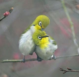 Perbedaan jenis kelamin pada burung pleci memang menjadi faktor utama untuk pemilihan calo Perbedaan Pleci Jantan dan Betina