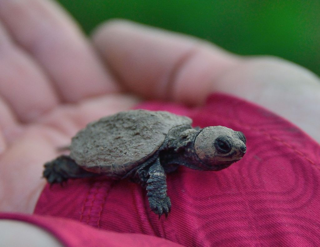 6. Newborn Snapping Turtle by anjoudiscus