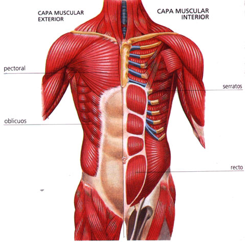 Pictures Of The Muscular System And Things In It 65