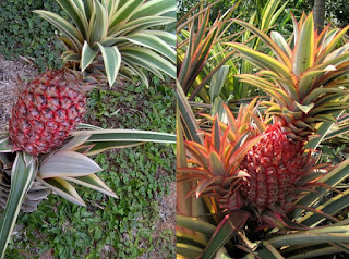 The Amazing Of Health Benefits of Red Pineapple - Healthy T1ps