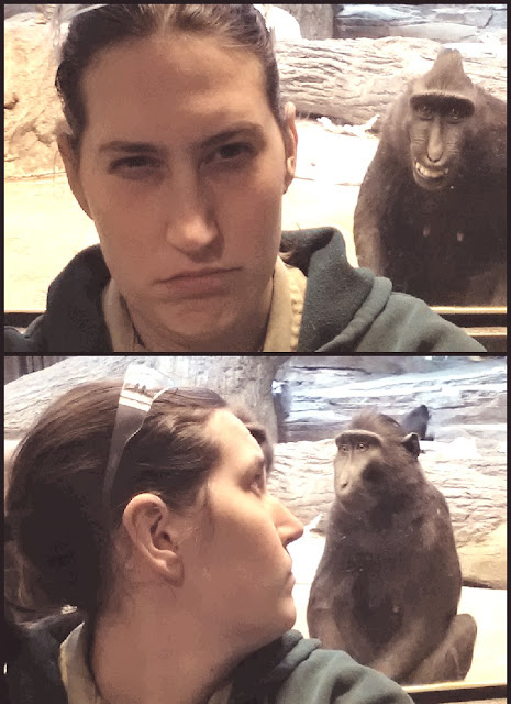 Funny Monkey mocking a zookeeper behind her back
