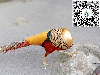 merawat golden pheasant
