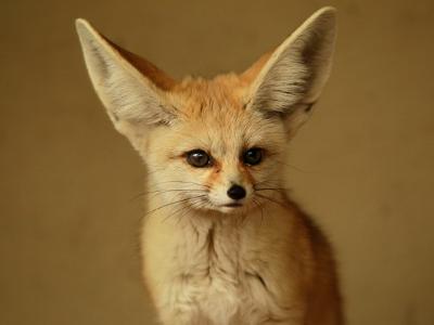 Animali di potere volpe del deserto animale di potere e for Dove vive la volpe