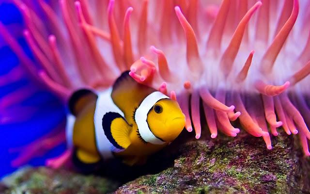 Dunia Ikan Hias - Ikan Badut