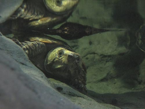 Chinese Big-Headed Turtle