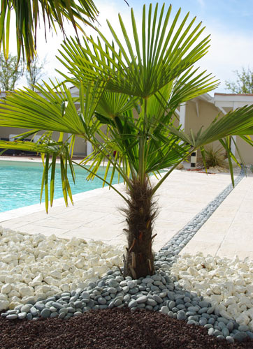 piscine et jardin conseils jardinage l entretien du palmier. Black Bedroom Furniture Sets. Home Design Ideas