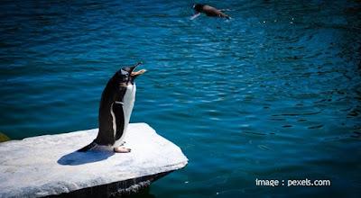 Mengapa Penguin Gak Bisa Terbang?