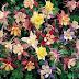 Hoa bồ câu - Aquilegia