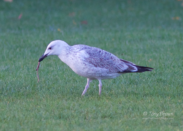 1st-winter, Gulls, Cachinnans, Wanstead