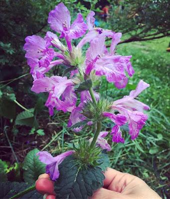 jalopähkämö jalopillike pähkämö pillike pienet lilat kukat torvimaiset kukat ryppäässä