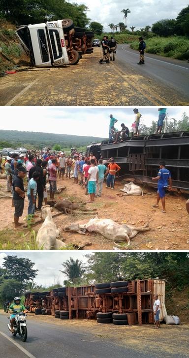 Carretas tombam em rodovias do Maranhão e dezenas de bois morrem