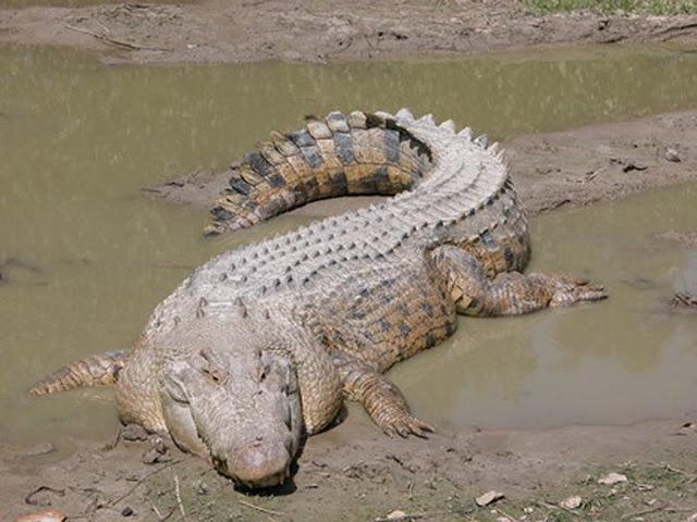 Crocodilo de água salgada