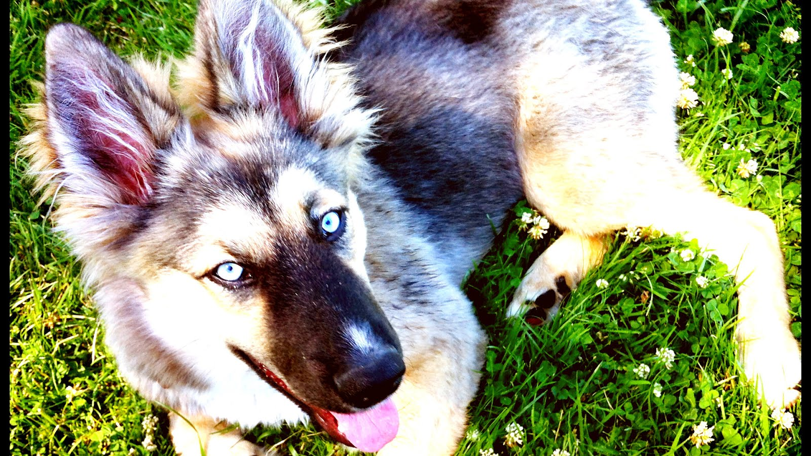 Husky Mix With German Shepherd For Sale - German Choices