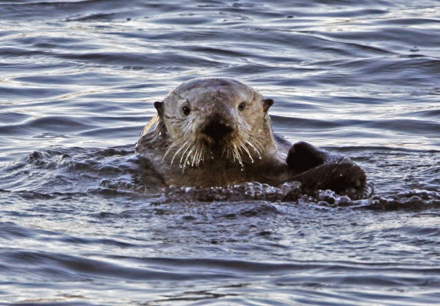 In this Jan. 15, 2010 file photo, a sea otter is seen in Morro Bay, Calif. From sea otters to blue whales, marine mammals are under stress from climate change, ocean acidification, hunting and other threats.  (Credit: AP Photo/Reed Saxon) Click to enlarge.
