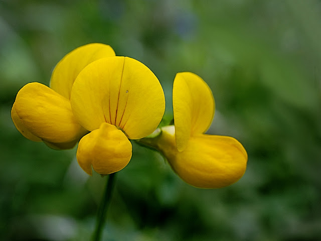 Close up of a single flower of bird's foot trefoil