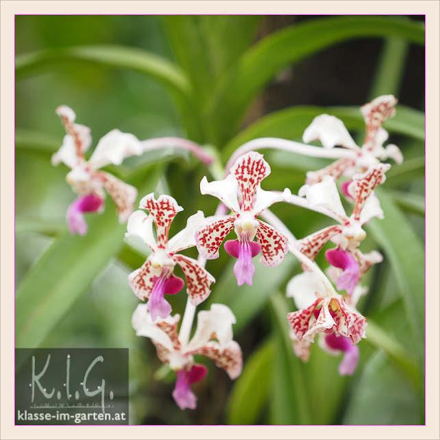 Palmenhaus Schoenbrunn: Orchidee