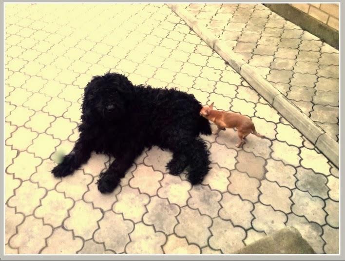 Лучший друг чихуахуа, подарок, маленькая собачка.