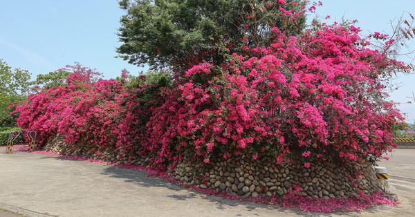 《台中.西屯》中科東大公園500公尺九重葛花牆,散步賞花拍美照
