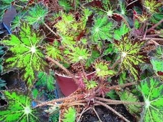 tanaman-begonia-green-star.jpg