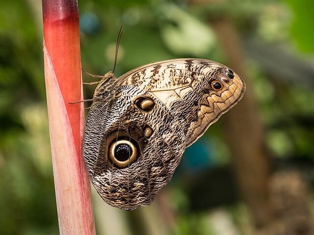 género caligo, insecto plaga en frutales tanto la larva como el adulto