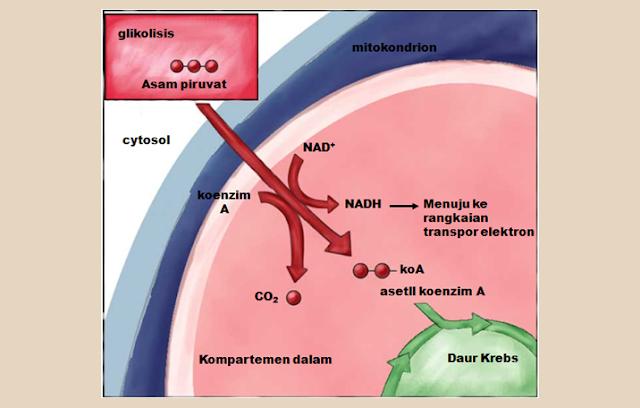 Pengertian Siklus Krebs (Siklus Asam Sitrat)