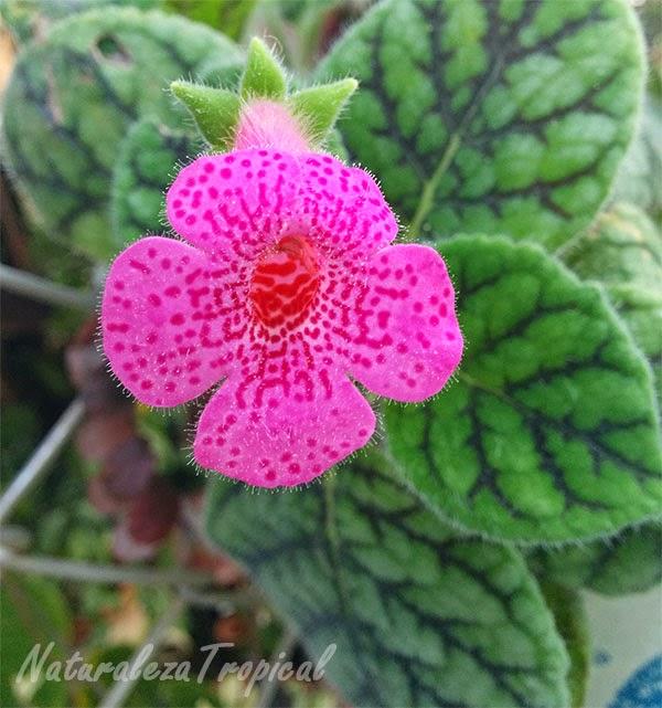 Variedad rosa con puntos negros de flor del género Episcia