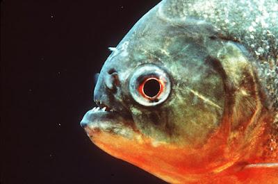 Red Bellied Piranha Si Piranha Mematikan Dari Amazon