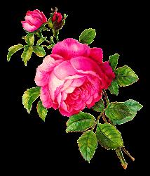 Antique Images: Digital Rose Illustration Pink Flower