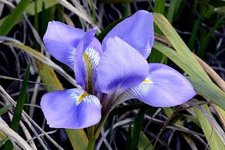 bunga iris biru