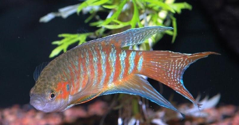 Budidaya Ikan Hias Paradise Paradisefish