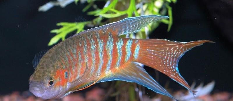 Budidaya Ikan Hias Paradise (Paradisefish)