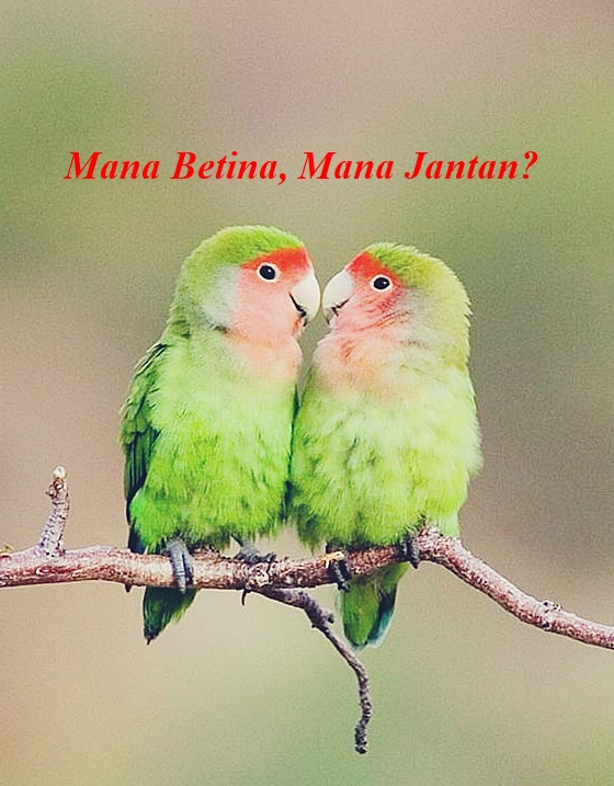 15 Cara Akurat Untuk Mengetahui Jenis Kelamin Lovebird Nomer 10 Sangat Unik Planet Lovebird
