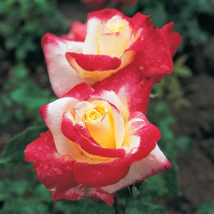 Şakayık Red Magic bahçeniz için en iyi seçimdir 61